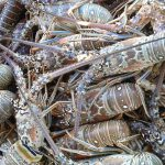 fishbusterz spiny lobster